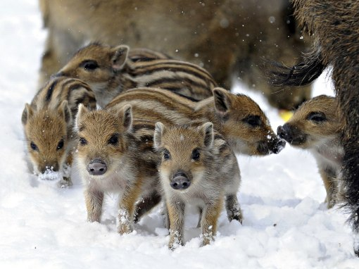 wild-pigs-babies