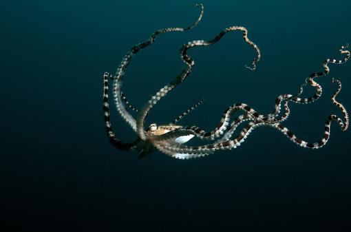 mimic octopus 1.1280*1024